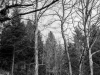 Forest in B/W